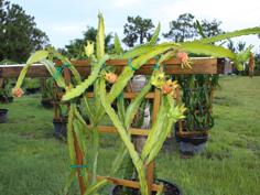 how to grow dragon eye fruit dwarf longan